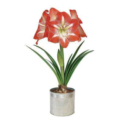 Amaryllis Minerva in Galvanized Metal Planter