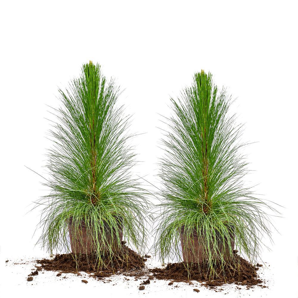 #3 Longleaf Pine Tree (2-Pack)