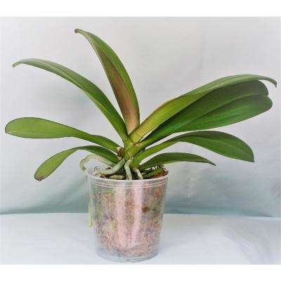 Grower's Orchid Phalaenopsis in 5 in  Plastic Pot