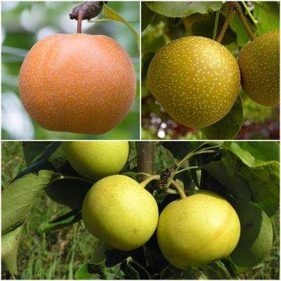 3-in-1 Asian Pear Jubilee Tree