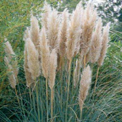 1 Gal. Pampas Grass With Sandy White Blooms, Live Evergreen Grass