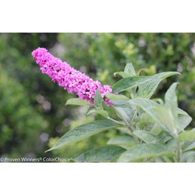 Lo and behold 'Pink Micro Chip' Butterfly Bush (Buddleia) Live Shrub, Pink Flowers, 4.5 in. qt.