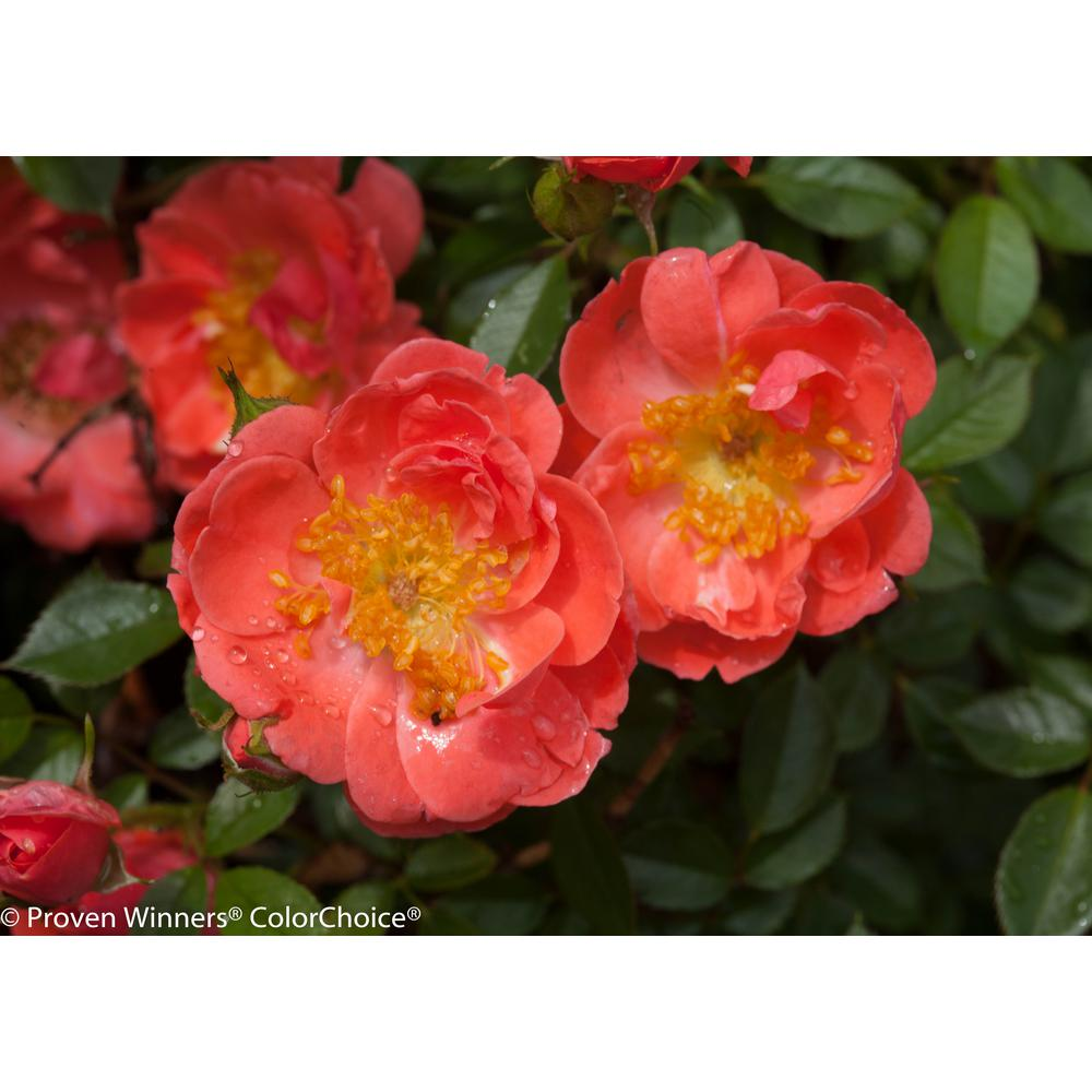 Proven Winners 4.5 in. qt. Oso Easy Mango Salsa Landscape Rose (Rosa) Live Shrub, Salmon Pink Flowers