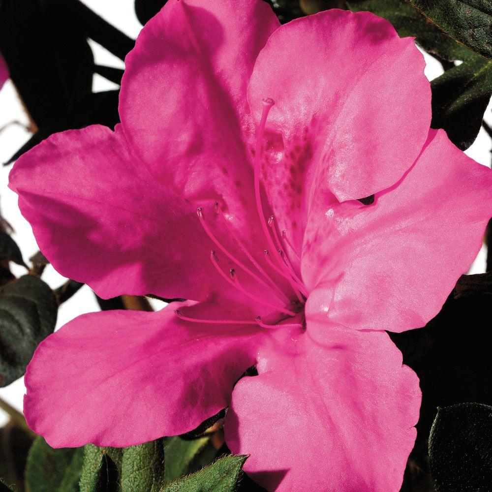 Encore Azalea 2 Gal. Autumn Sangria - Re-Blooming Evergreen Shrub with Vibrant Pink Blooms