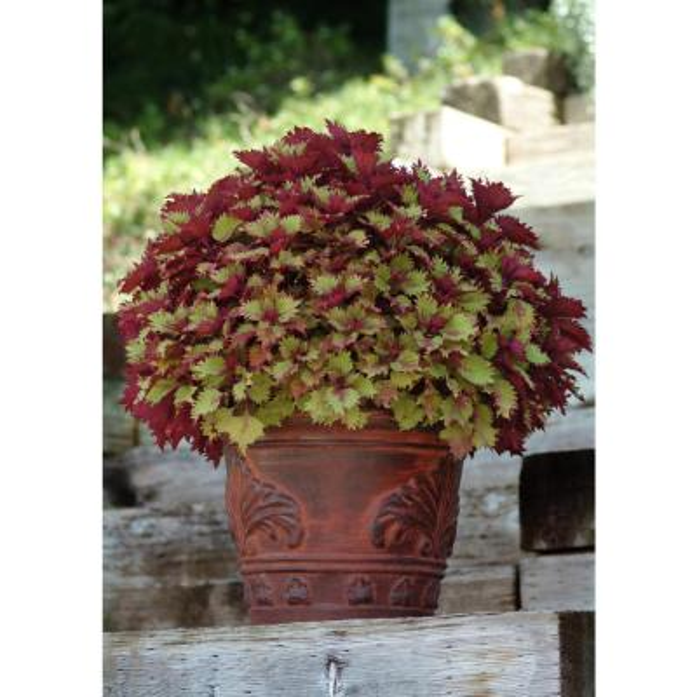 1.38 Pt. Coleus Plant Henna Copper/Dark Burgundy in 4.5 In. Grower's Pot (4-Plants)