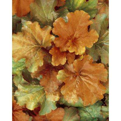 4.5 in. qt. Dolce Creme Brulee Coral Bells (Heuchera) Live Plant, Bronze Foliage