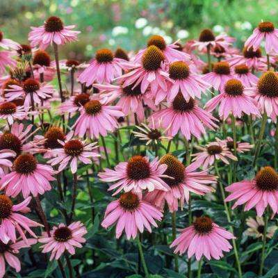 Purple Flowering Everblooming Coneflower (Echinacea) Live Bareroot Plants (3-Pack)
