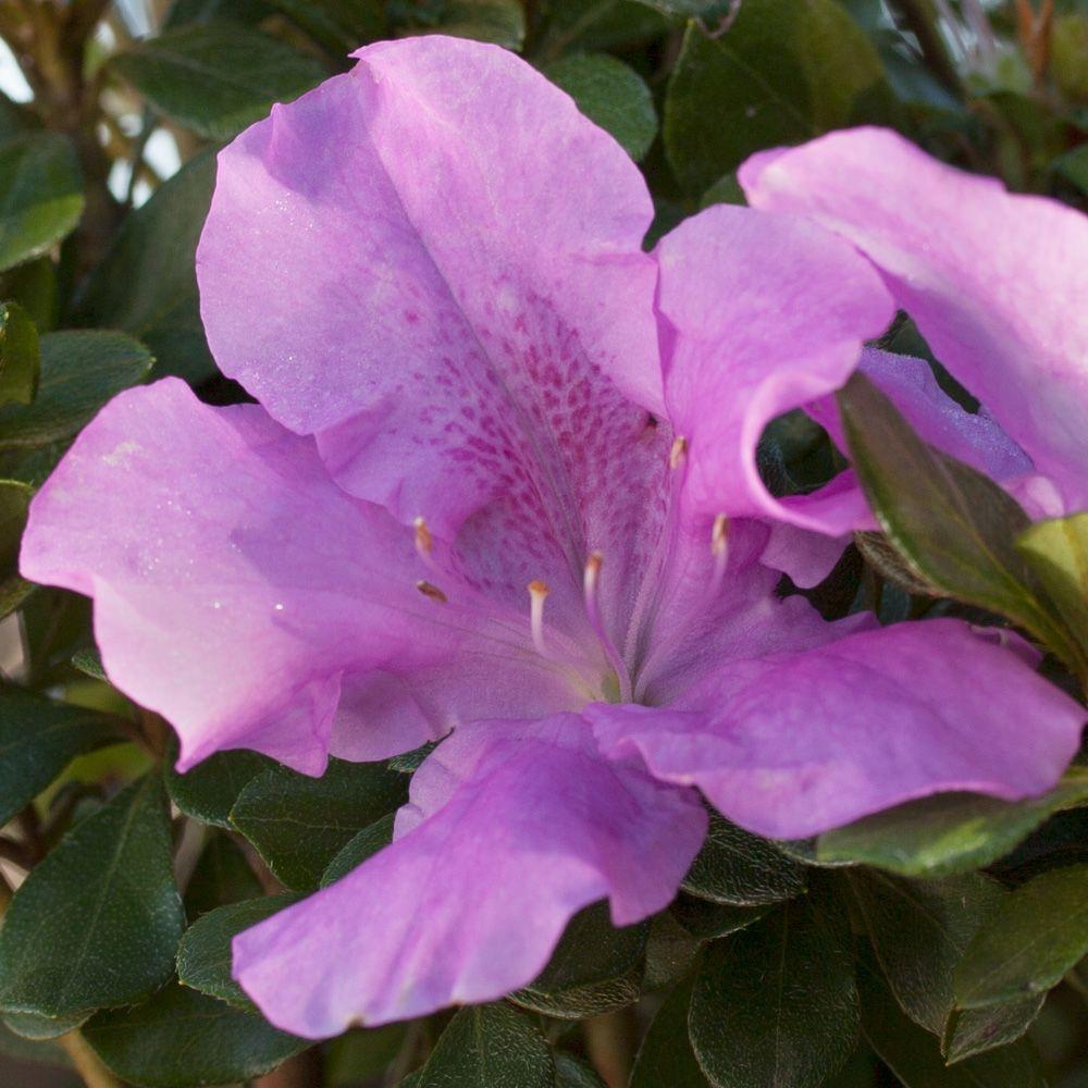 1 Gal. Autumn Lilac - Purple Multi-Season Re-Blooming Evergreen Shrub, Live Plant