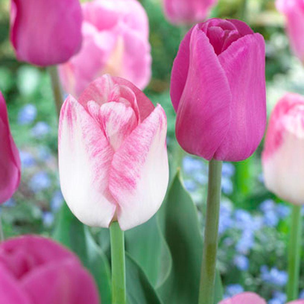 Tulip Purple Flag & Tulip Shirley Dormant Bulbs (48-Pack)