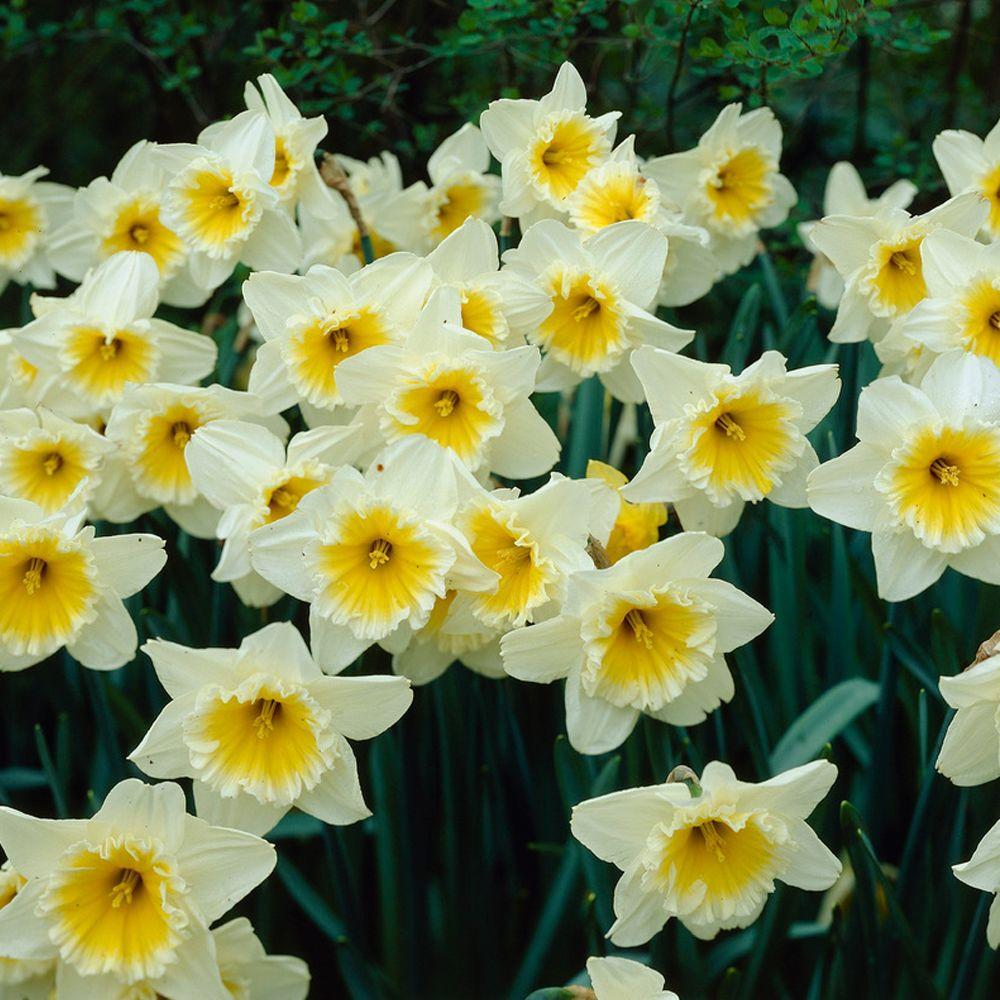 Daffodil Ice Follies Flower Bulb (8-Pack)