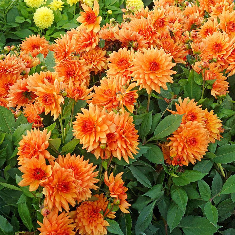 Orange Glory Dahlia Bulb (1-Pack)