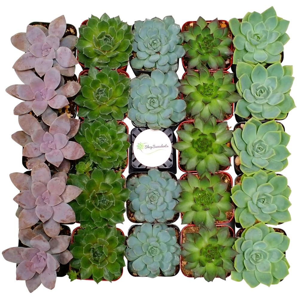Shop Succulents 2 in. Assorted Succulent (Collection of 128)