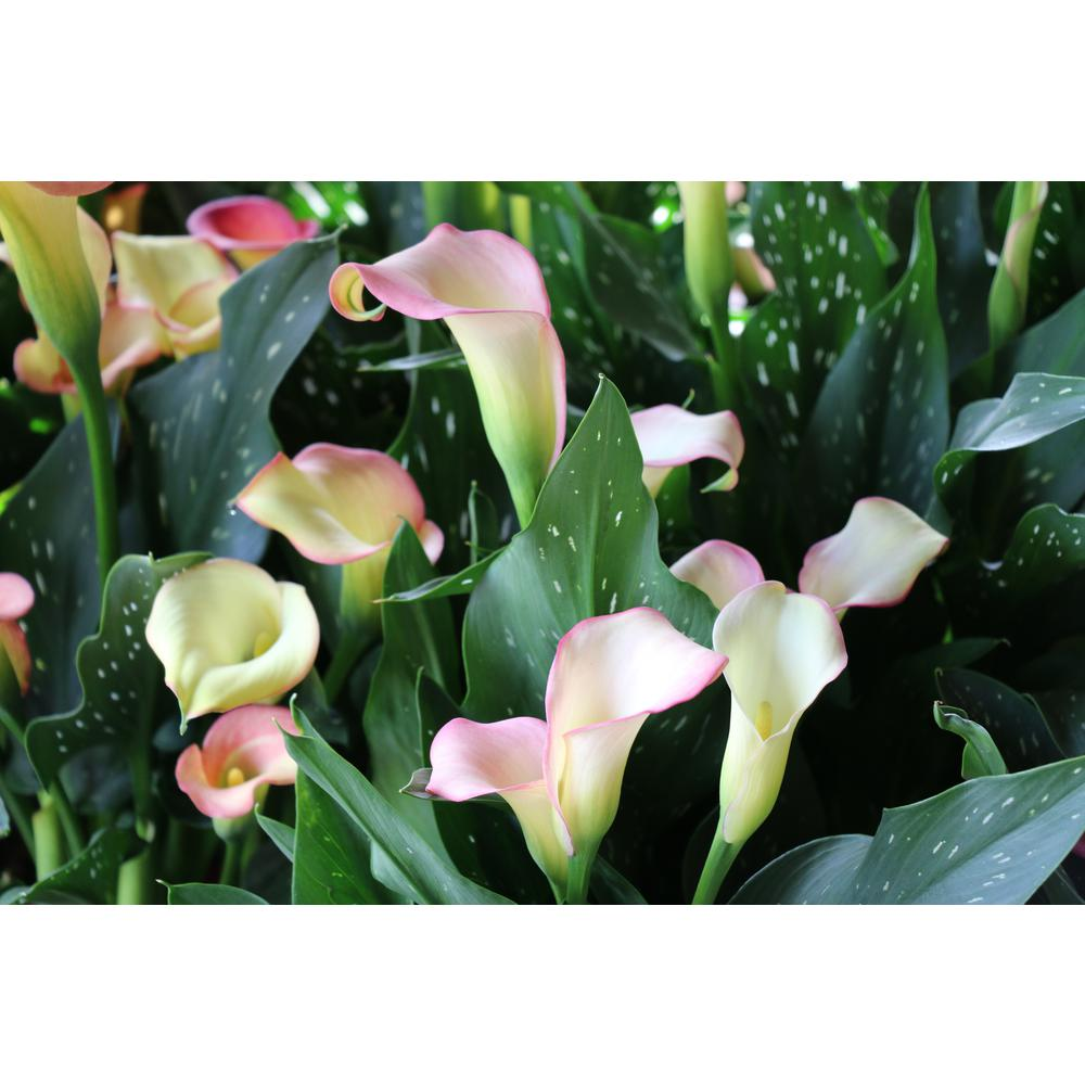 Costa Farms 2 5 Qt Calla Lily In Grower S Pot Grower S Choice