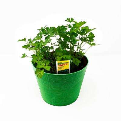 Herb Plant Flat Leaf Parsley in 6 In. Deco Pot
