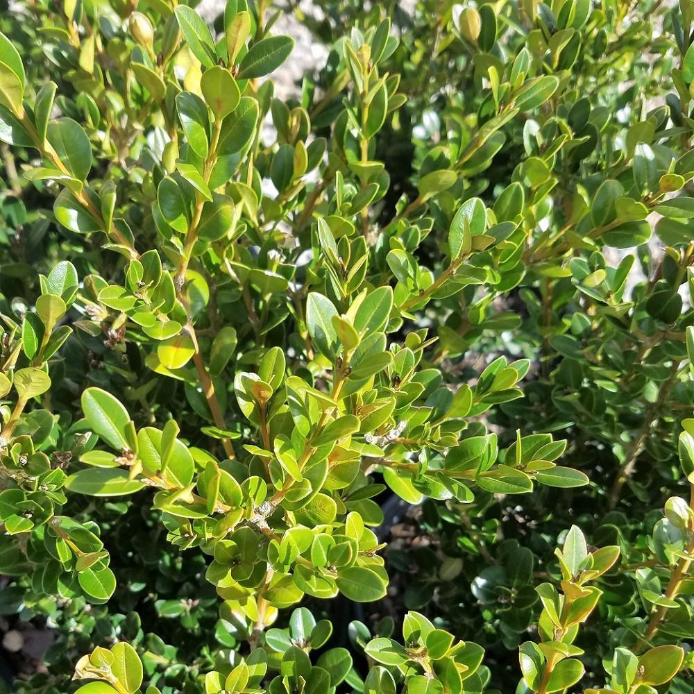 2.5 Qt. Wintergreen Boxwood, Live Shrub Plant, Glossy Dark Green Foliage