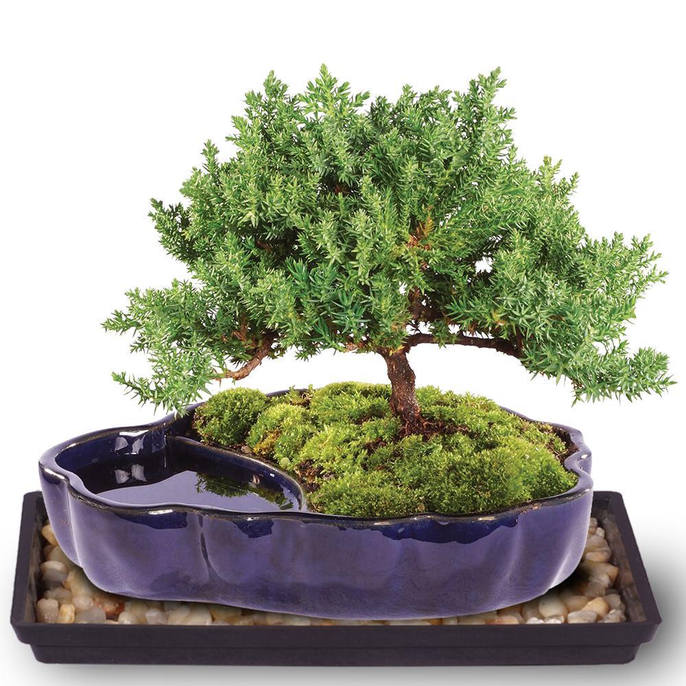 Brussel S Bonsai Green Mound Juniper Bonsai In Zen Reflections Pot Dt2101gmjz The Home Depot