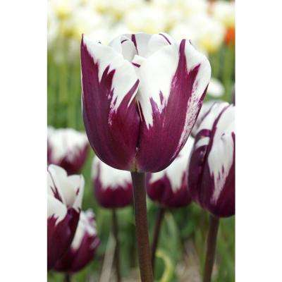 Blueberry Ripple Tulip (8-Pack)