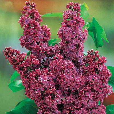 2 in. Pot Congo French Hybrid Lilac (Syringa) Live Potted Plant Red Flowers (1-Pack)