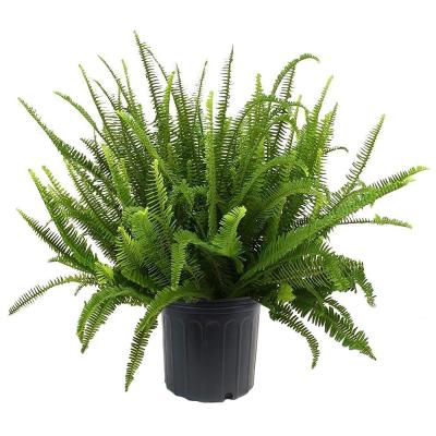 10 in. Fern Kimberly Queen Plant with Green Foliage