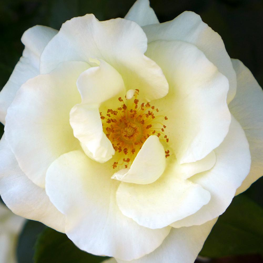 Mea Nursery All-Time Favorites White Magic Hybrid Tea Rose with White Flowers was $25.98 now $10.49 (60.0% off)