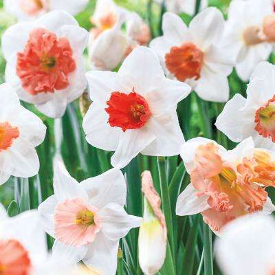 Pink Daffodil Flower Bulbs Garden Plants Flowers The Home