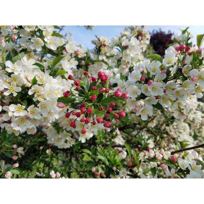 Dolgo Flowering Crabapple Tree Bare Root