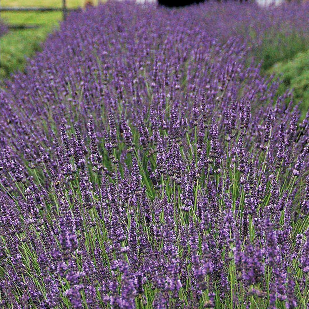 Unbranded 2 5 Qt Fragrant Purple Flowers With Silvery Green Leaves Phenomenal Lavender Live Perennial Annual Plant 3854q The Home Depot