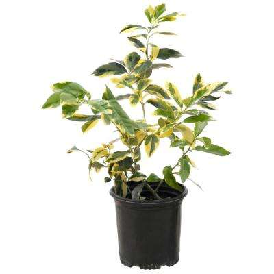 Variegated 2.5 qt. Pot Eureka Lemon Plant