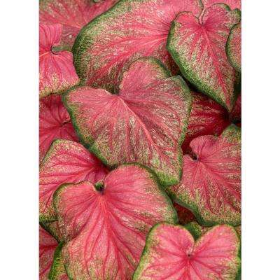 4.5 in. Quart Heart to Heart Tickle Me Pink (Caladium) Live Plant in Pink Foliage