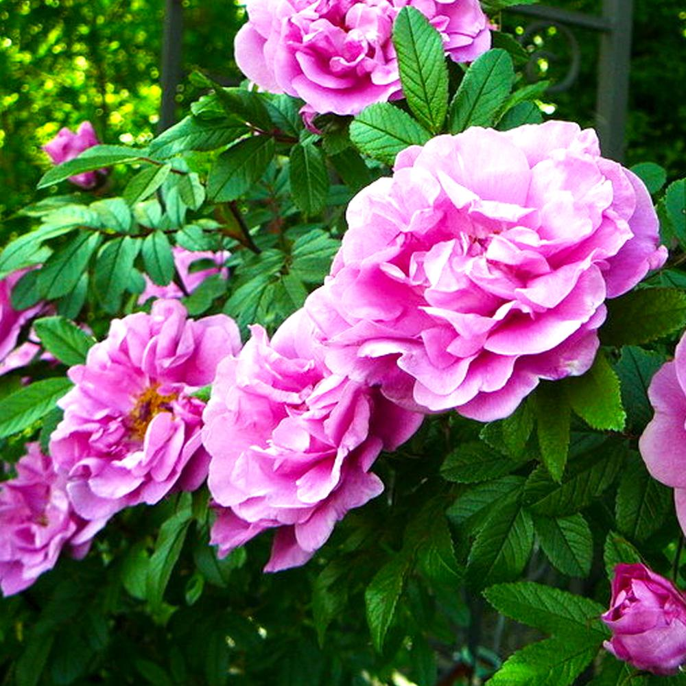 Mea Nursery Fragrant Therese Bugnet Shrub Rose With Pink Flowers