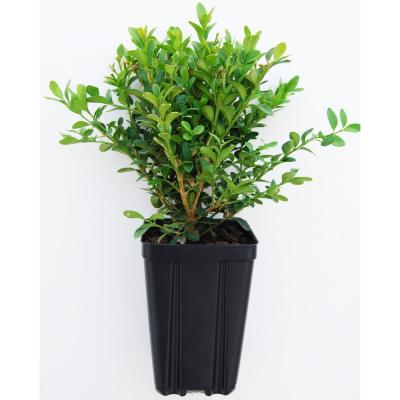Green Velvet Boxwood Potted Shrub