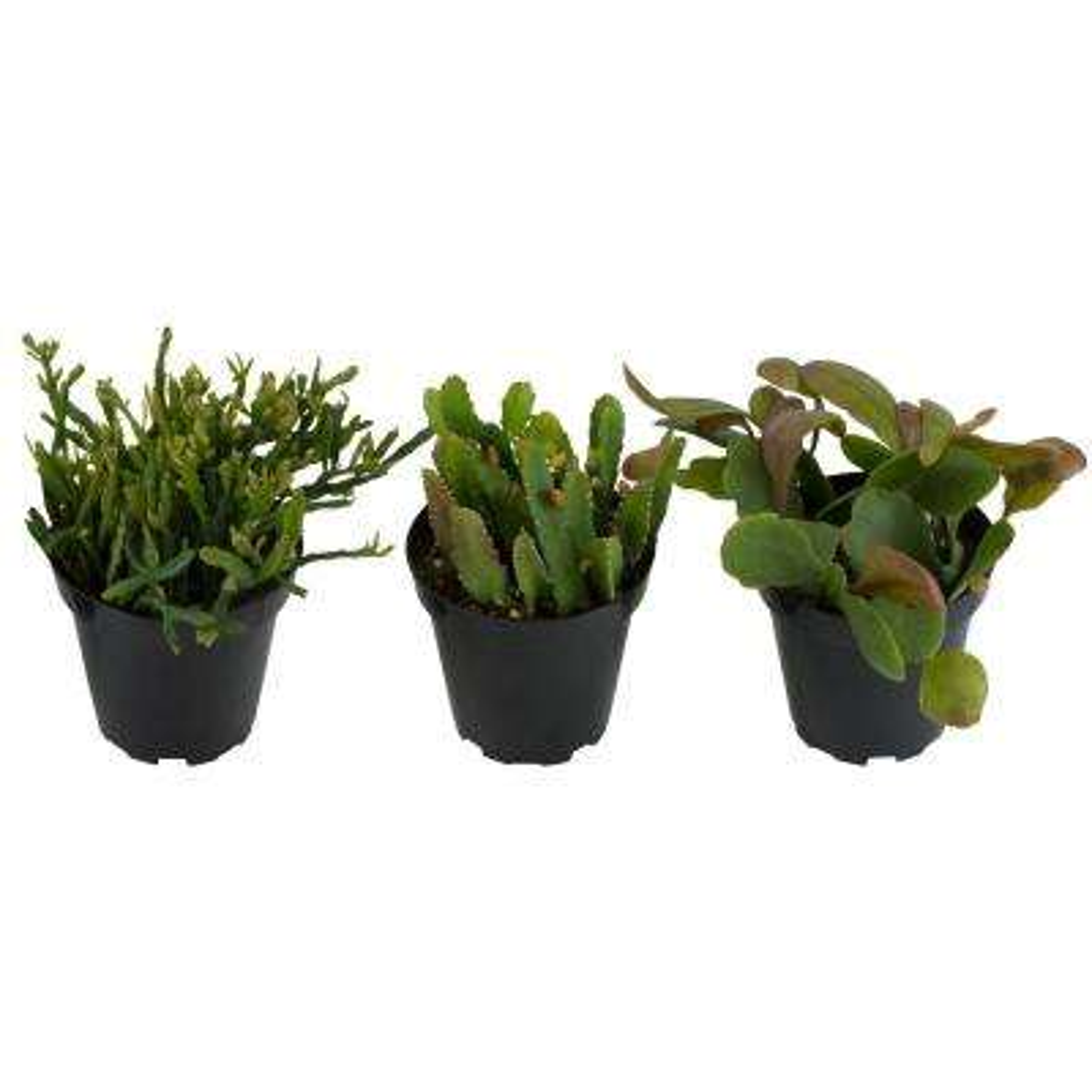 3.5 in. Rhipsalis Jungle Cactus Plant (3-Pack)