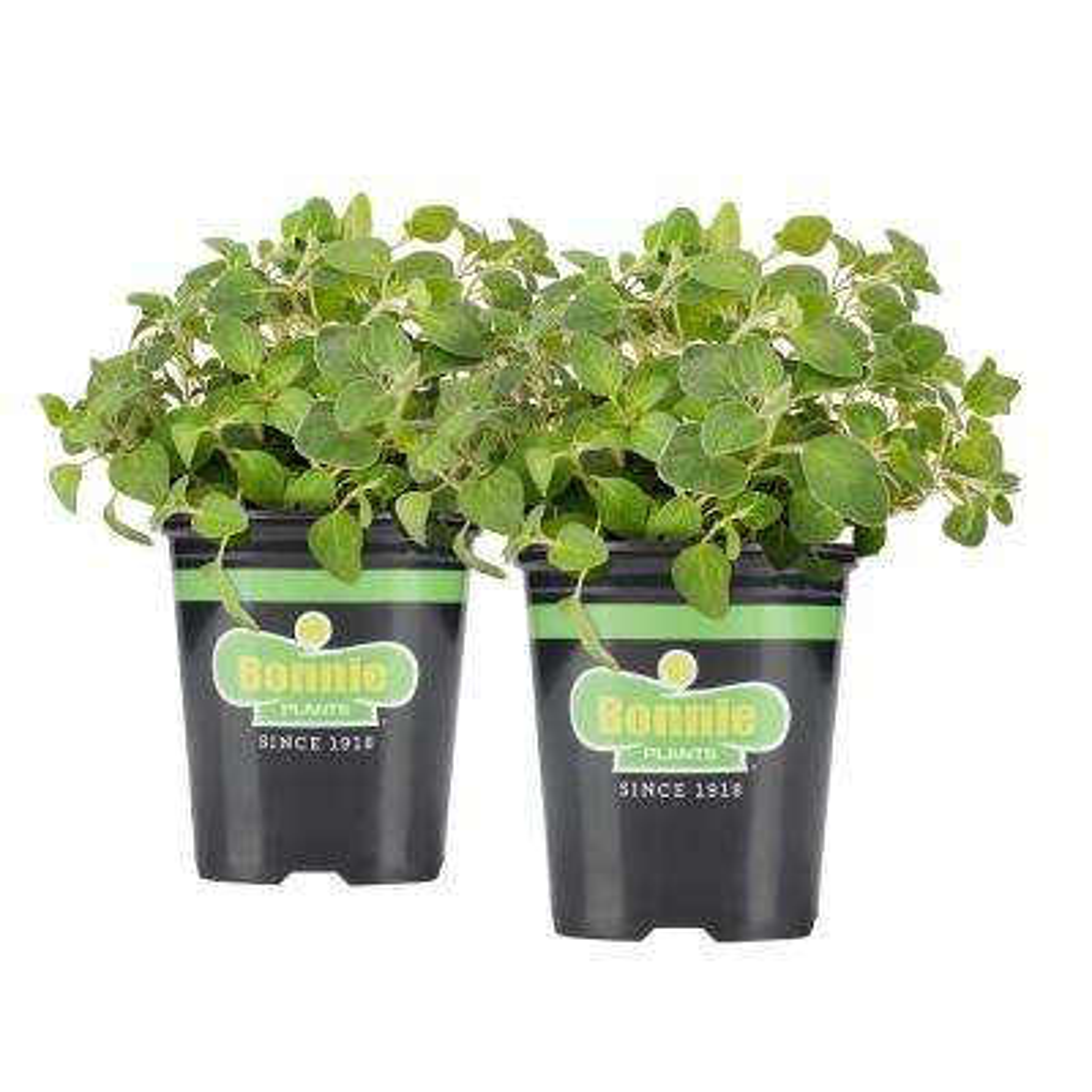 19.3 oz. Italian Oregano (2-Pack Live Plants)