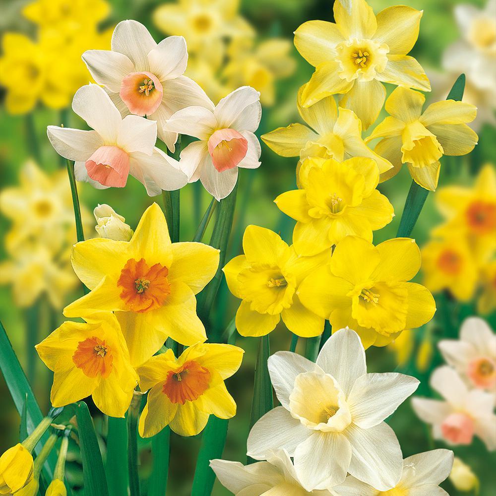 Daffodils Bulbs Fragrant Mixture (Set of 25)