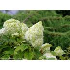 4.5 in qt. Gatsby Moon Oakleaf Hydrangea (Quercifolia) Live Shrub, White to Green Flowers
