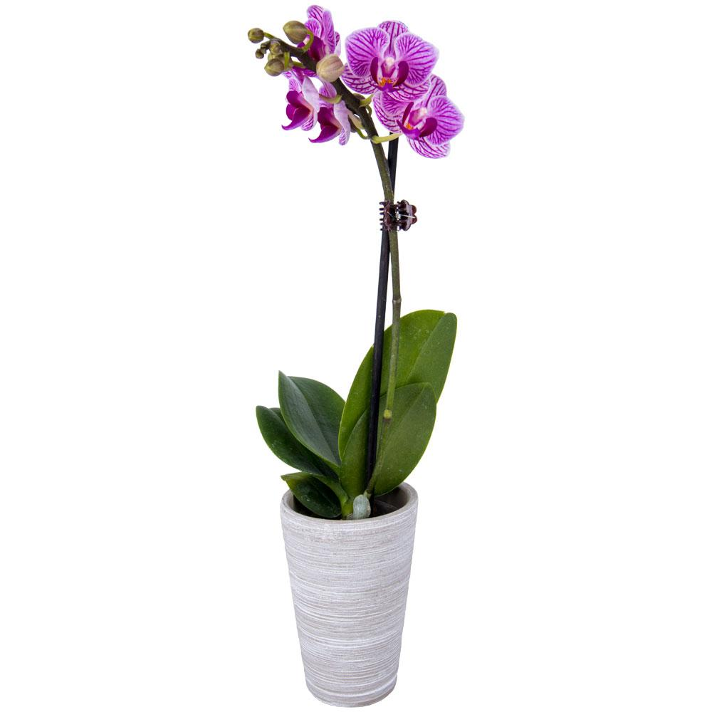 2 In Orchid Phal P02 01 The Home Depot