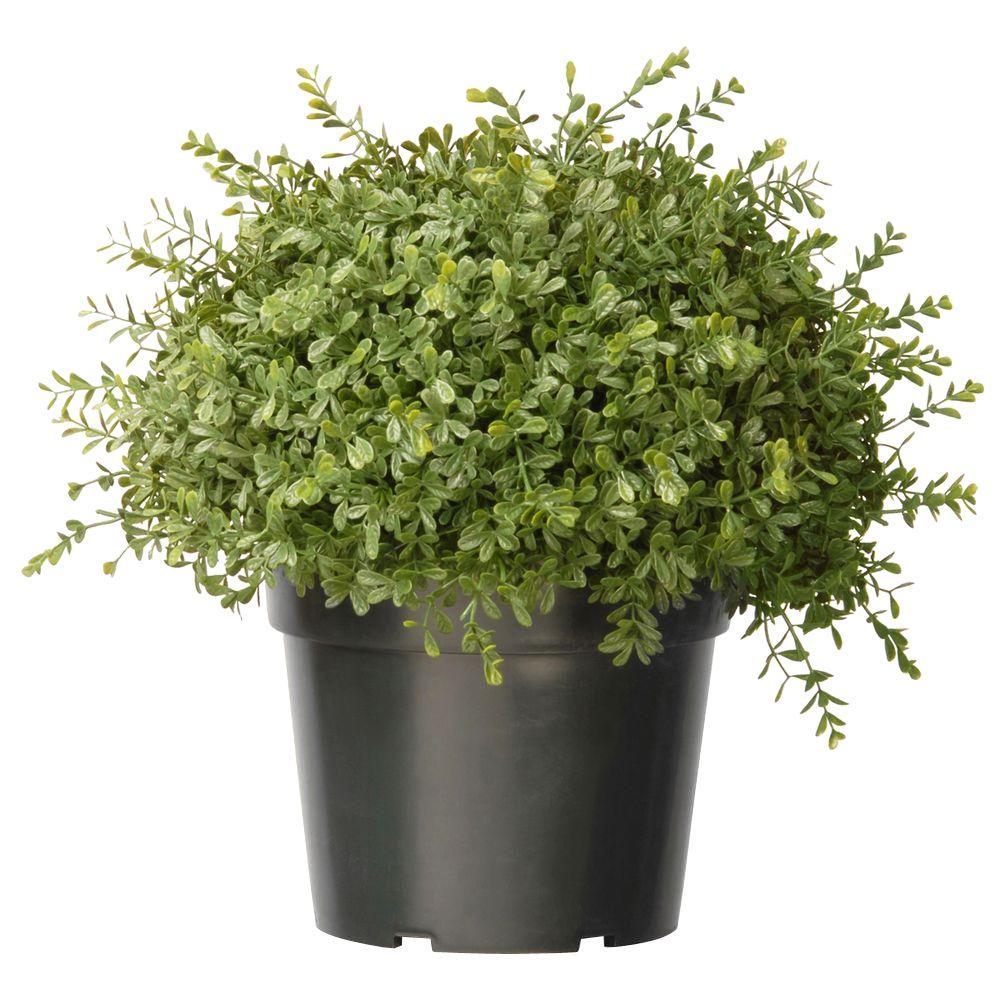 15 in. Mini Tea Leaf 1 Ball Bush with Dark Green Growers Pot