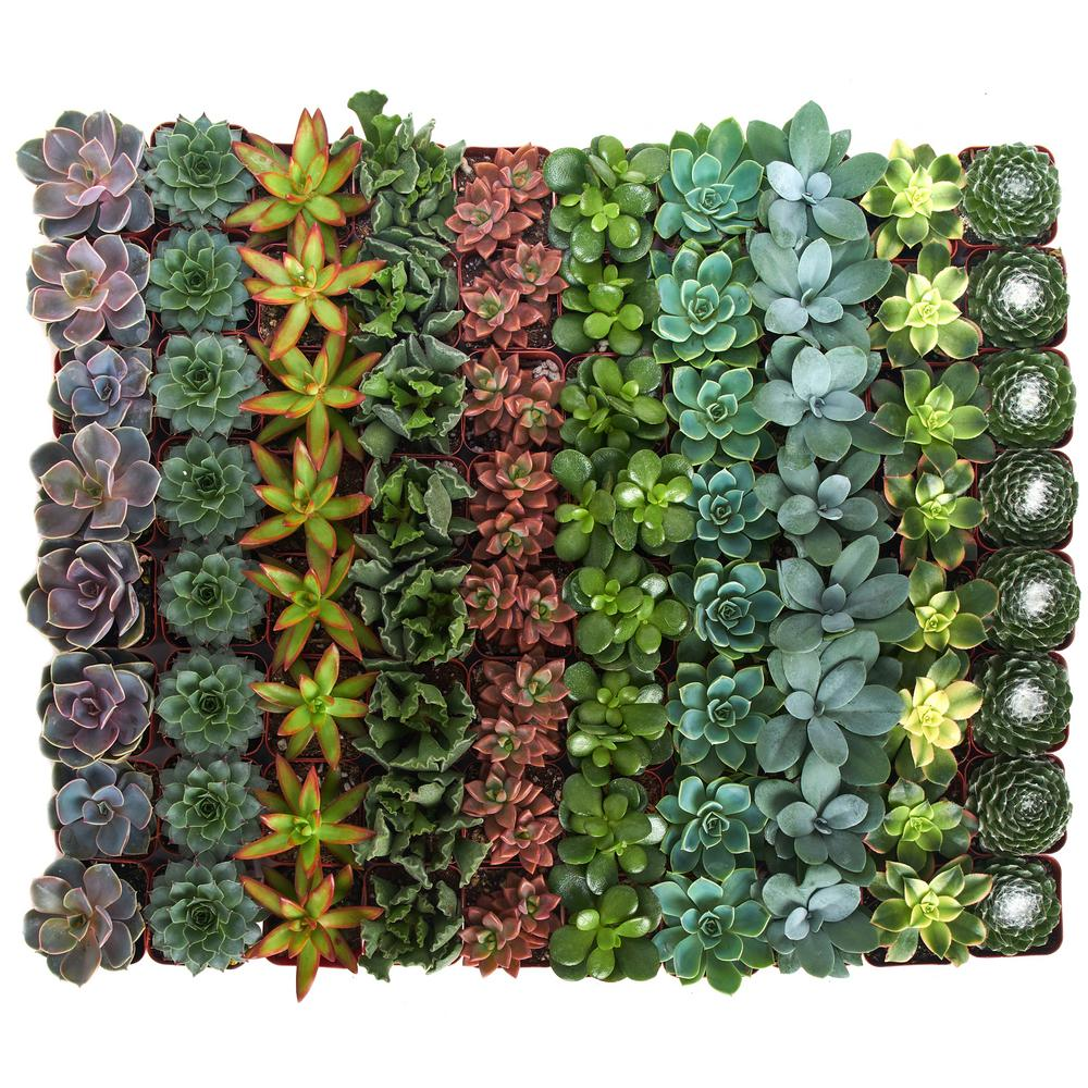 Home Botanicals Assorted Succulent Collection (64-Pack)