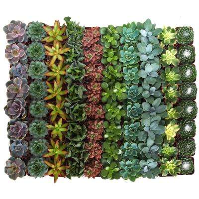 Assorted Succulent Collection (64-Pack)