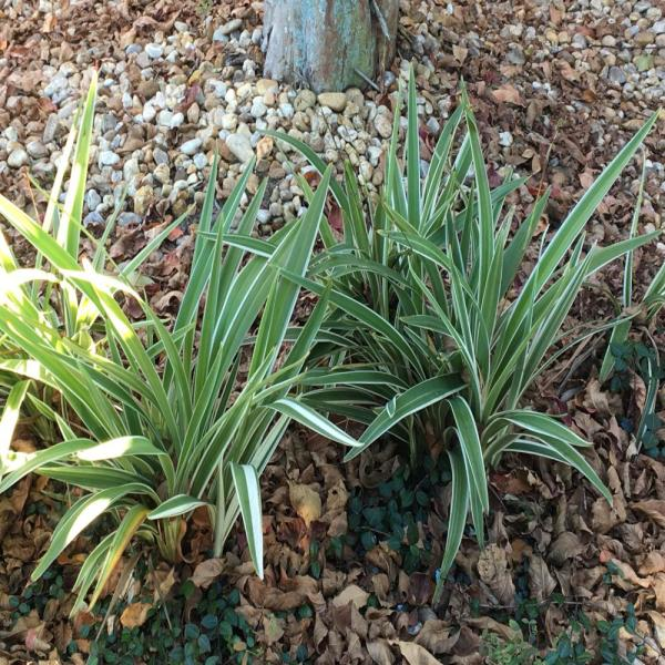 Unbranded 1 Gal Dianella Flax Lily Plant D392g1 The Home Depot