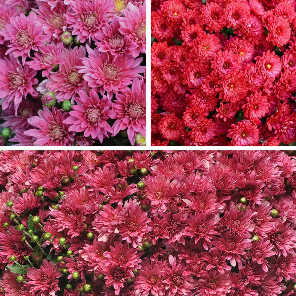 1 Qt. Fall Decor Kit Pink-Purple-Red Blooms Mum Plant (3-Piece)