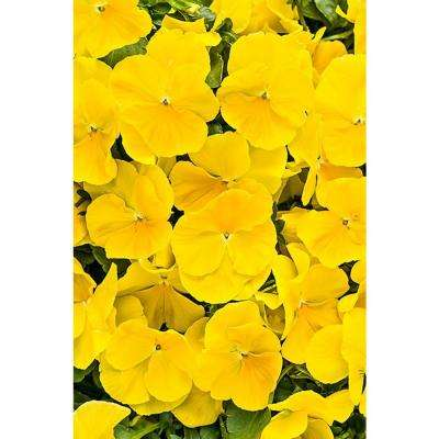 Yellow pansy annuals garden plants flowers the home depot anytime sunlight pansiola viola live plant yellow flowers 425 in grande mightylinksfo