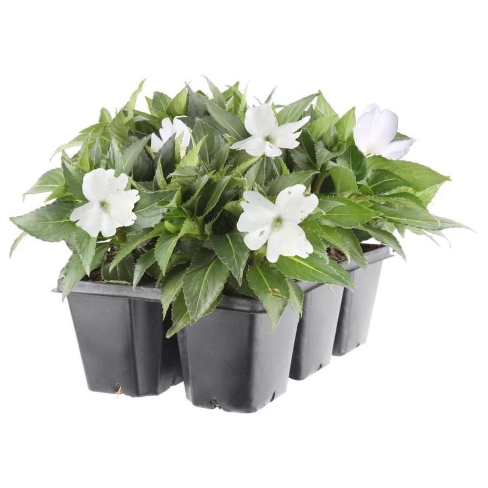 2.25 Qt. Sunpatien Impatien Plant White Flower in 2.75 In. Cell Grower's Tray (6-Plants)
