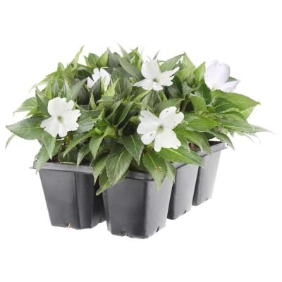 2.25 Qt. SunPatiens White Impatien Outdoor Annual Plant with White Flowers in 2.75 In. Cell Grower's Tray (6-Plants)