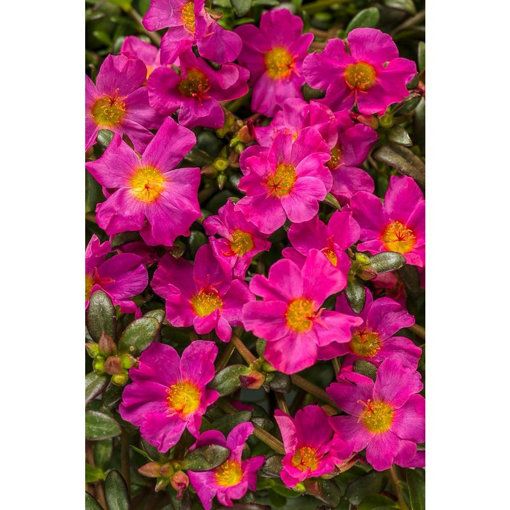 Mojave Fuchsia Moss Rose Portulaca Live Plant Flowers 4 25 In Grande Pack Pink With A Yellow Center