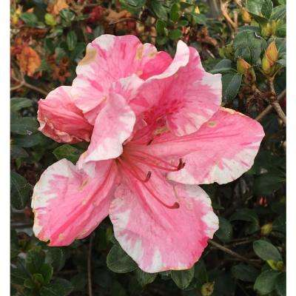 10 in. Conversation Piece Azalea Shrub with Pink/White Flowers