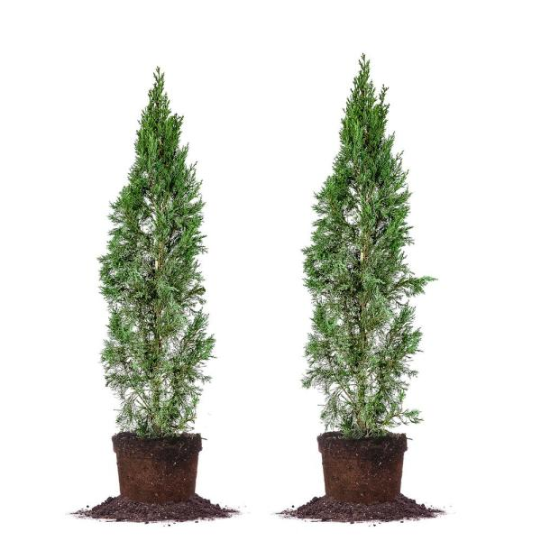 4 ft. - 5 ft. Italian Cypress (2-Pack)