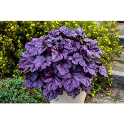 4.5 in. Qt. Dolce Wildberry Coral Bells (Heuchera) Live Plant in White Flowers and Purple Foliage