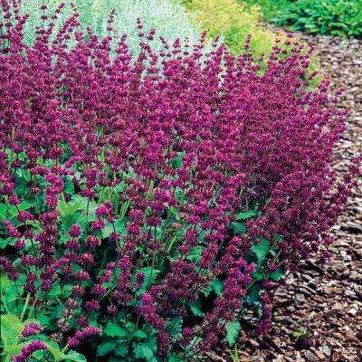Purple Rain Salvia Live Bareroot Perennial Plants Purple Flowers (2-Pack)