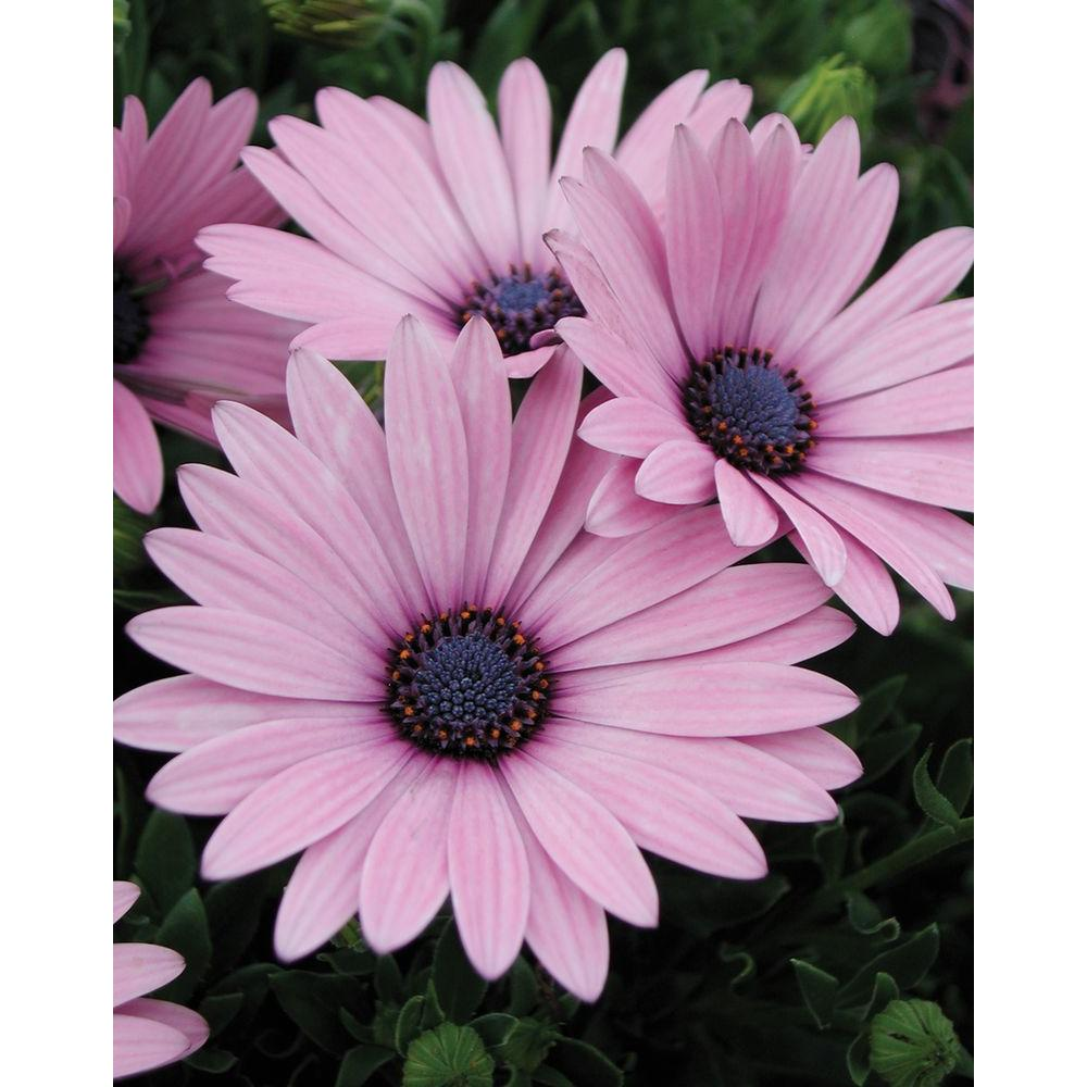 Daisy annuals garden plants flowers the home depot soprano light purple osteospermum live plant light purple flowers 425 in izmirmasajfo